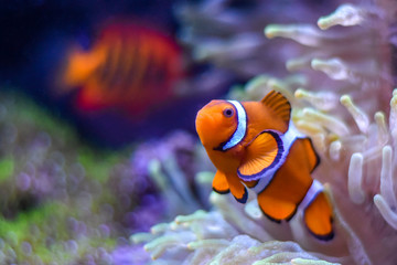 A Percula Clownfish (Amphiprion percula), also known as the clown anemonefish, enjoys the safety of its host sea anemone in a tropical reef tank aquarium.