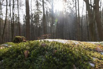 Moos im frostigen Wald