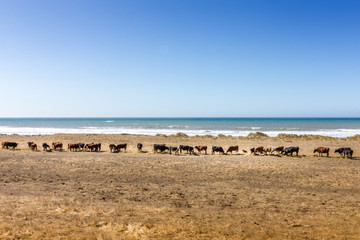 Row of cows in front of the pacific ocean in California