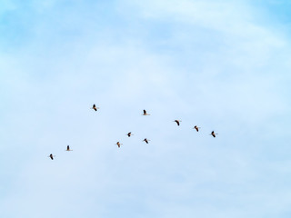 A flock of common cranes (Grus grus) flying in the cloudy sky
