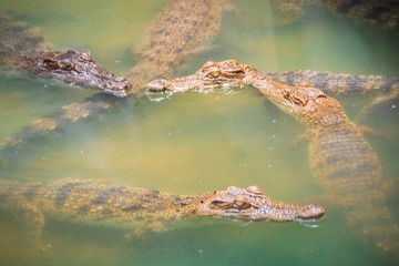 Young crocodiles are floating in the water at crocodile farm or alligator farm, an establishment for breeding to produce crocodile and alligator meat, leather, and other goods.