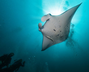 Giant manta ray with two divers silhouettes