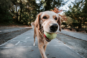 Close-up of Golden Retriever carrying ball in mouth while walking on footpath against trees in park