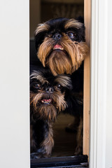 Close-up of dogs looking through window from home