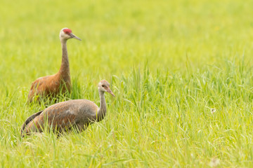 Sandhill crane (Grus canadensis) adult and colt feeding in meadow;  Alaska