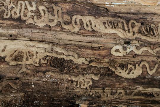 Damage from emerald ash borer larvae (Agrilus planipennis)