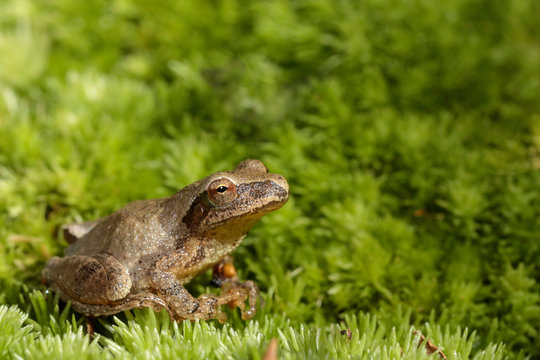 Spring peeper perched on moss - Pseudacris crucifer