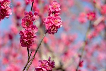 Foto auf Acrylglas Rosa Lovey Red-bloomed plum garden at AobanoMori Park, Chiba prefecture, Chiba city, Japan
