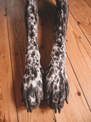 Dog legs at wooden floor