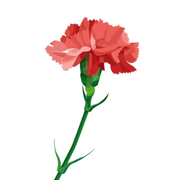 Red carnation flower.  Isolated on white. Collection for Mother's Day, victory day