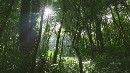 Wall Mural - Beautiful green forest with sunlight.