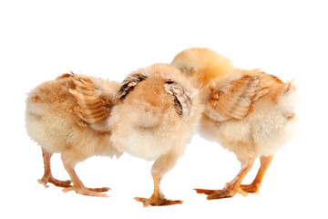 small chickens on a white background are turned away with their backs