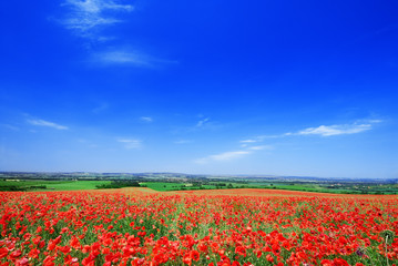 Wall Mural - Idyllic view, fields of red poppies