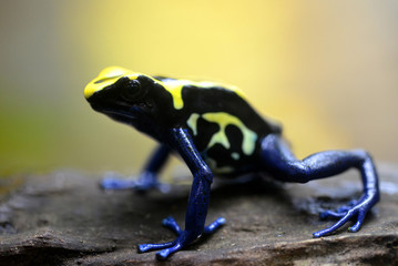Blue dyeing dart frog (Dendrobates tinctorius). Tropical frog living in South America.