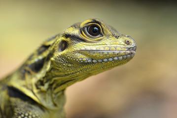 Philippine sailfin lizard (Hydrosaurus pustulatus) close up.