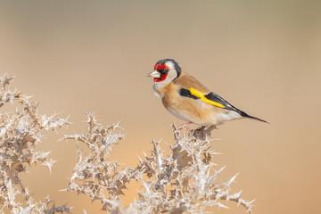 Bilder Und Videos Suchen Finkenvogel