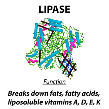 Molecular structural chemical formula Lipase. Functions of the enzyme digestive tract lipase. Breaks down fats, fatty acids, fat-soluble vitamins A, D, E, K. Infographics. Vector illustration.