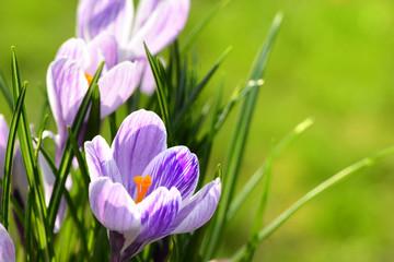 Garden Poster Crocuses Blumen 1010