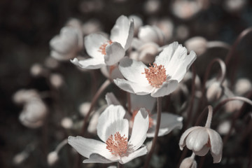 White anemone flowers, stylized