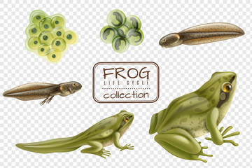Frog Life Cycle Set
