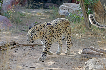 Leopard walks in search of food, a terrible leopard