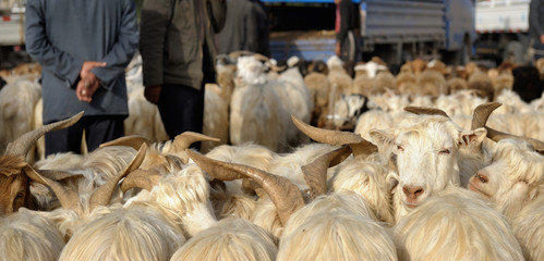 """Men trading Sheep at """"Zhongxiya Shichang"""" or in Uyghur """"Yekshenba"""" livestock bazaar. It is a very popular Sunday animal market in Kashgar. It attracts villagers, nomads and tourists."""