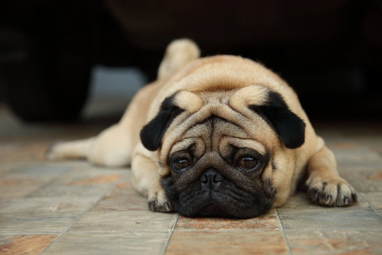 Sad looking pug dog is patiently waiting for owner to come home
