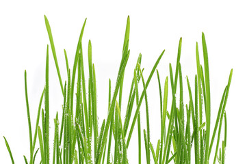 young green oat shoots natural background