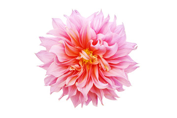 Poster Dahlia Blooming Pink Dahlia Flower Isolated on White Background