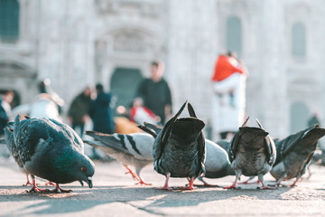 Pigeons at Cathedral Square, Milan, Italy