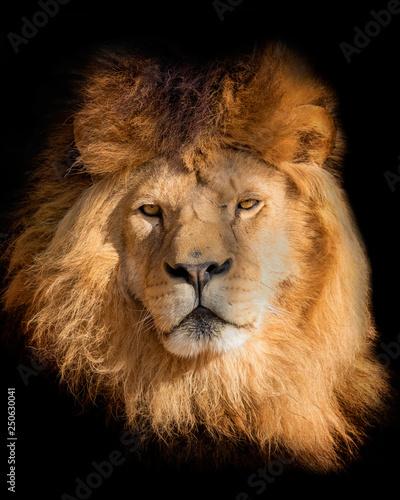 Aufkleber Portrait lion on the black