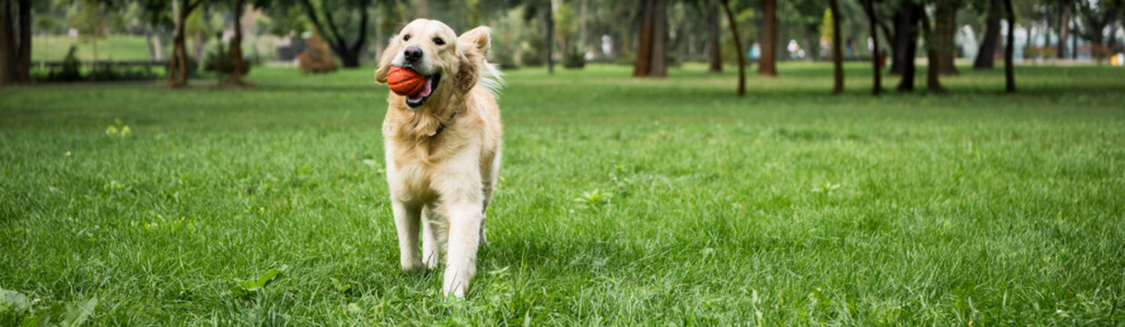 funny golden retriever dog running with ball on green lawn