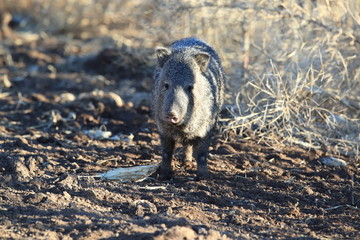 Javelina in Bosque del Apache National Wildlife Refuge, New Mexico.