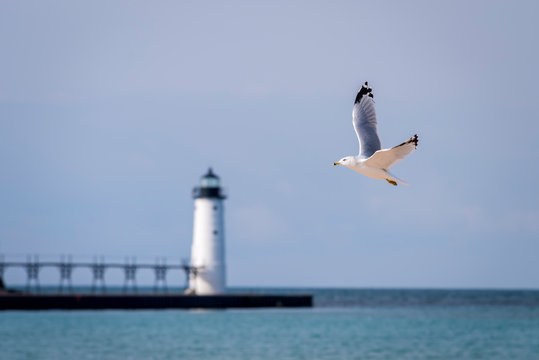 Ring-billed Gull (Larus delawarensis) flying with Manistee North Pierhead Lighthouse in the background. Lake Michigan, Manistee, Michigan.