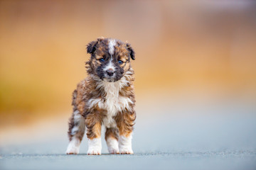 Puppy looking at the camera down the road