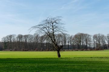 Einzelner kahler Baum auf weiter grüner Wiese. Standort: Deutschland, Nordrhein-Westfalen