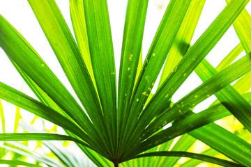 Dark green lady palm leaf Wall mural
