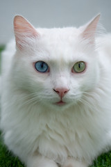 White cat with heterochromia lying on grass and looking at front
