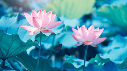 Garden Poster Lotus flower blooming lotus flower