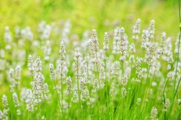 Lavender white flowers background