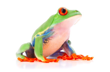 Red eyed tree frog from the tropical rain forest of Costa Rica and Panama. A cute funny exotic animal with vibrant eyes isolated on a white background. .