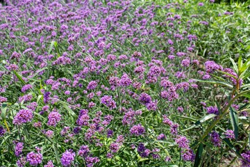 Vervain bush out in the wild.