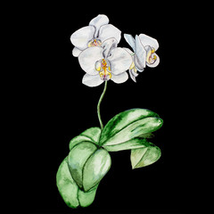 Watercolor painting blooming white Orchid.