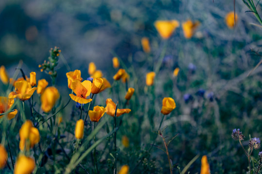 Mexican poppy wildflowers in Arizona after spring rain
