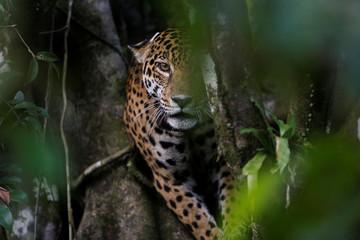 The Wider Image: Brazil jaguars find safe haven in rainforest trees