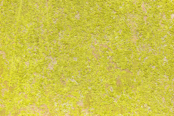 Bright yellow-green lichen on the stone. Background wall, texture of the lichen loin. natural backgrounds, texture of a small yellow-green lichen top view