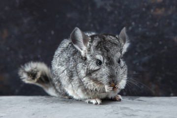 Grey chinchilla is sitting and looking at you. Cute animal and adorable pet. Fluffy creature that loves you