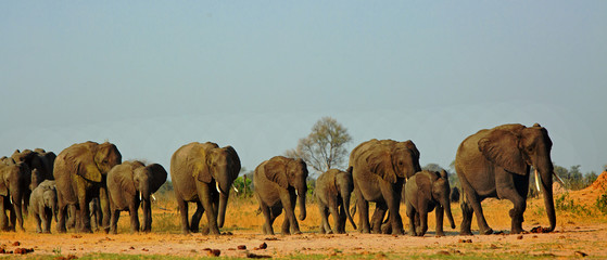 Photo sur Plexiglas Elephant Panorama of a family herd of elephants walking across the golden sunlit African Plains in Hwange National Park, Zimbabwe, Southern Africa