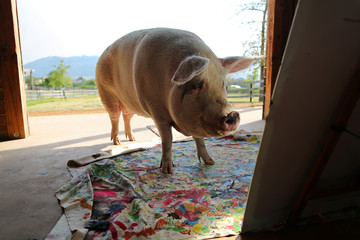 Pigcasso, a rescued pig, looks at a canvas after painting at the Farm Sanctuary in Franschhoek