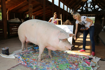 Pigcasso, a rescued pig, stands in front of the canvas she painted at the Farm Sanctuary in Franschhoek